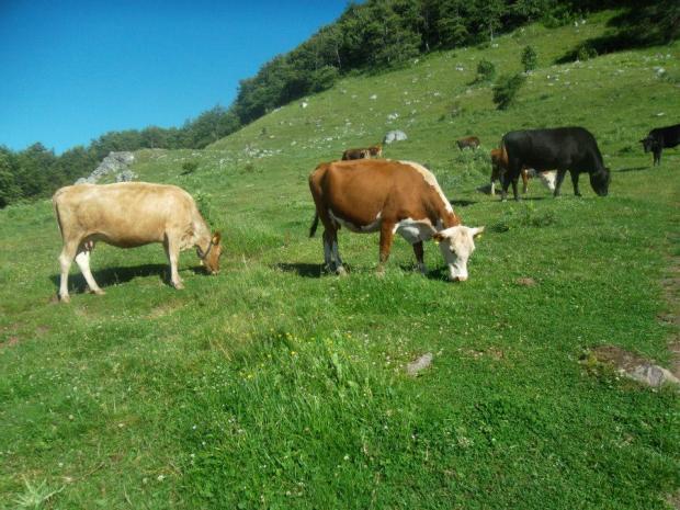 Облагане на ФЛ по ЗДДФЛ за закупени говеда