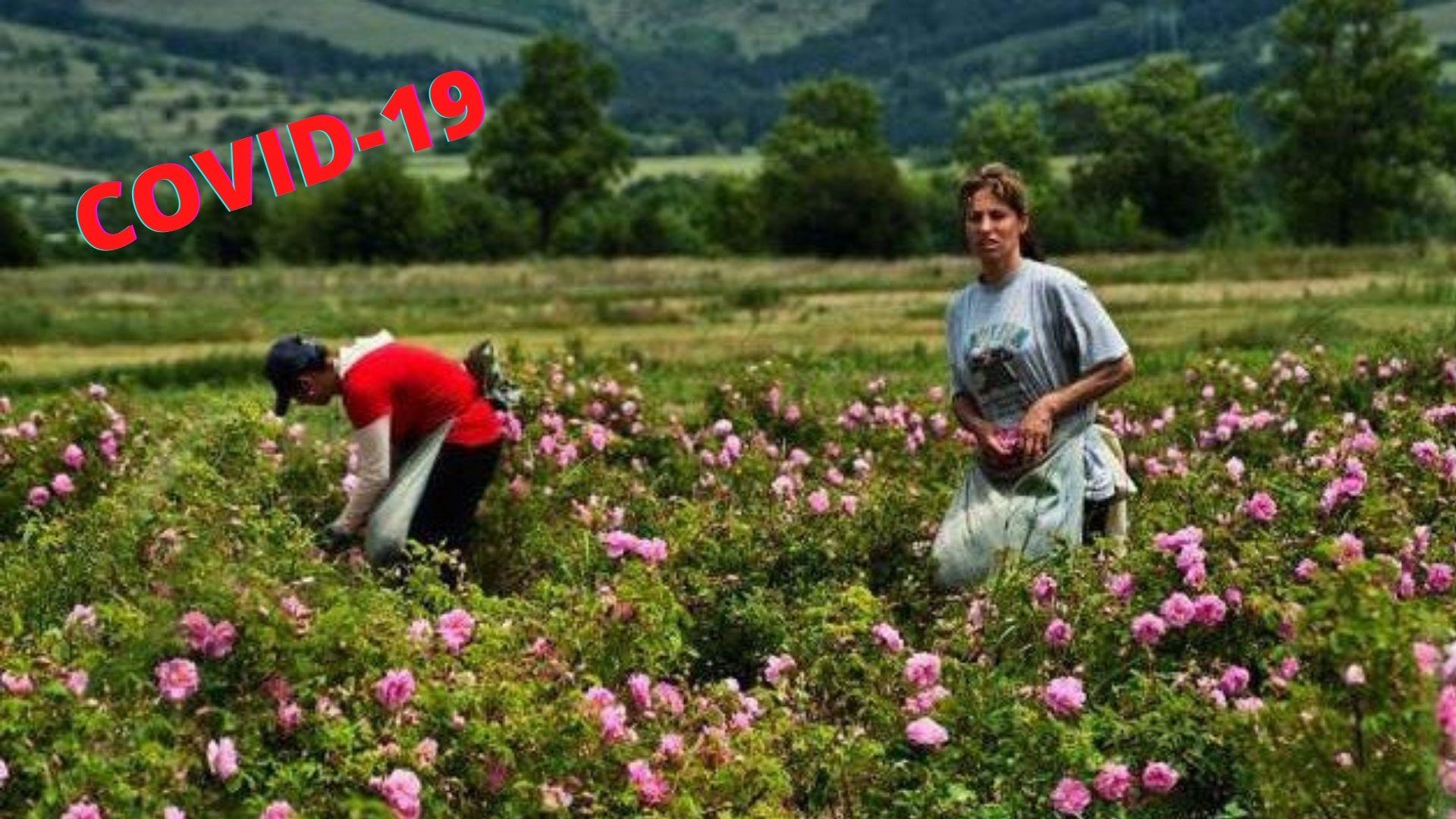 Първи 2 милиона лева COVID помощи за розопроизводителите у нас